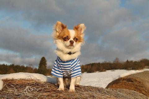 chihuahua kleding